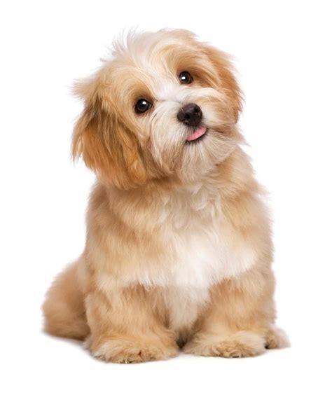 havanese puppies information roxburys havanese