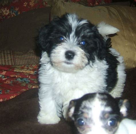 havanese breeders oregon havanese puppies for adoption breeds picture