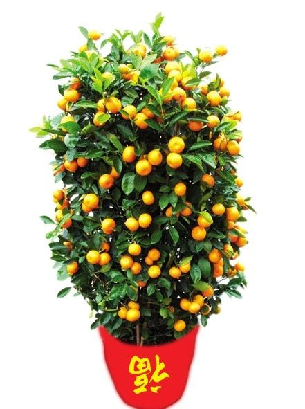 new year tangerine significance in hong kong what is the new year tradition of