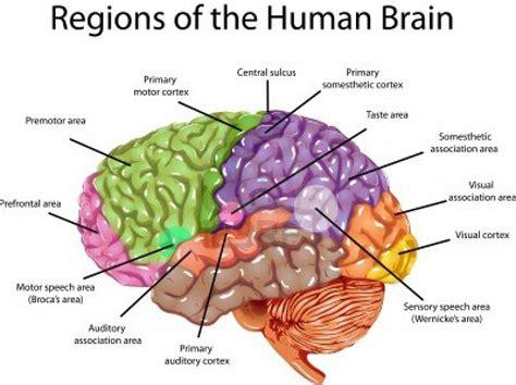 diagram of the human human brain diagram of human anatomy chart