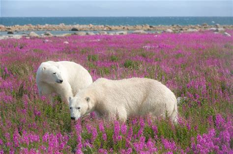 polar bears frolic in flowery fields in wildlife photos captured by dennis fast today
