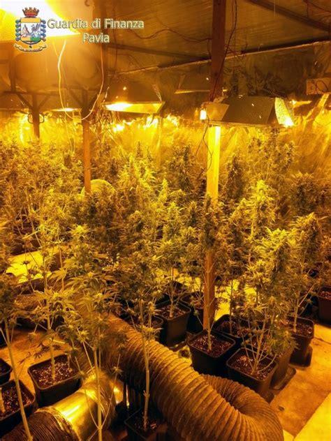 vivai pavia pavia il vivaio della marijuana 200 piante in 100 mq 1