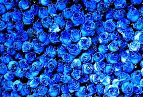 imagenes de rosas moradas y azules 191 cu 225 l es el significado de las rosas azules esoterismos com