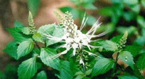 Obat Herbal Kumis Kucing daun kumis kucing sebagai obat herbal masalah ginjal anda