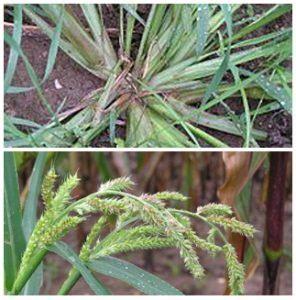 Obat Pengendalian Gulma Pada Tanaman Padi macam macam gulma rumput padi sawah cara membasmi gulma