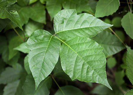 poison ivy rash pictures treatment symptoms home remedies