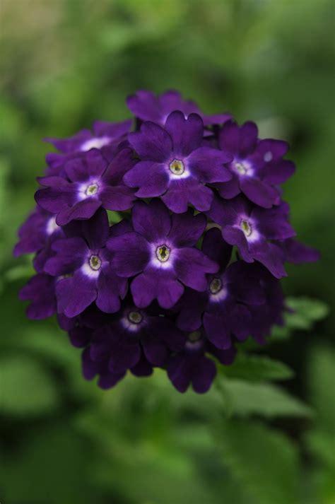 Power Flowers Verbena Purple Flowers For Garden