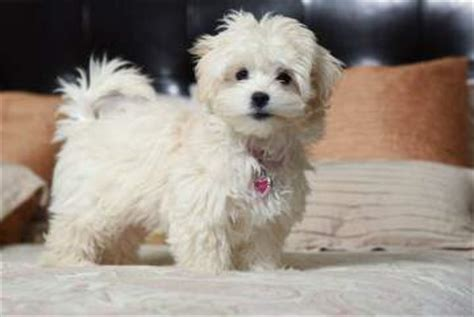 are pomeranians prone to seizures maltipoo health problems
