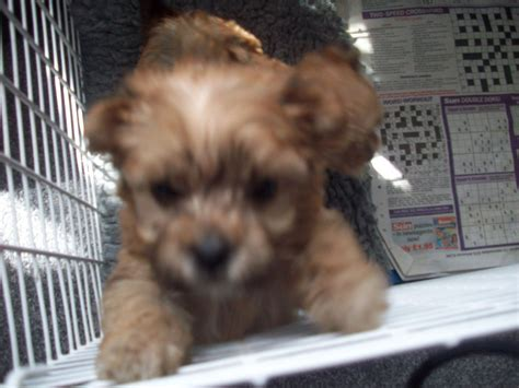 yochon puppies for sale yochon puppies ilfracombe pets4homes