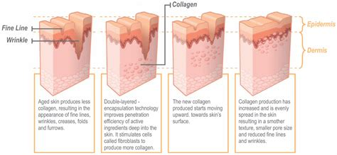 Collagen Skin aging by stimulating collagen in your skin to