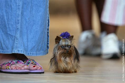 smallest yorkie on record world s smallest 2003