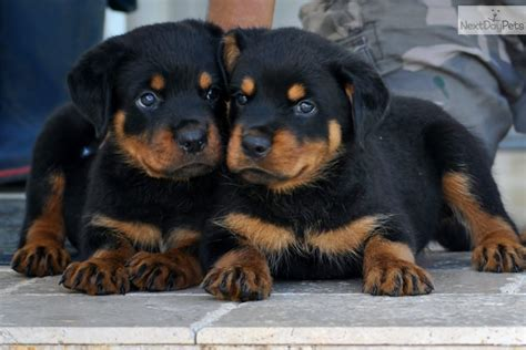 seattle rottweiler puppies where can i adopt a rottweiler puppy dogs in our photo