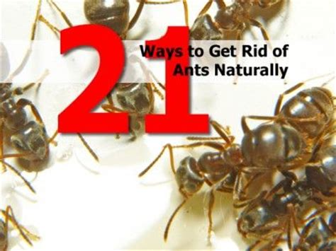 Get Rid Of Ants In Room by 37 Best Images About Home Tips On Water