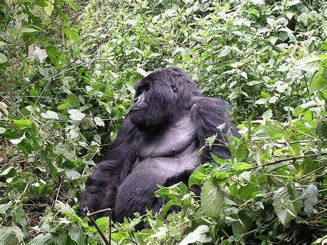 Largest Primate in the World - Eastern Gorilla
