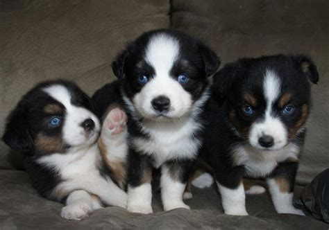 teacup australian shepherd puppies for sale best 25 australian shepherd for sale ideas on mini aussie for sale
