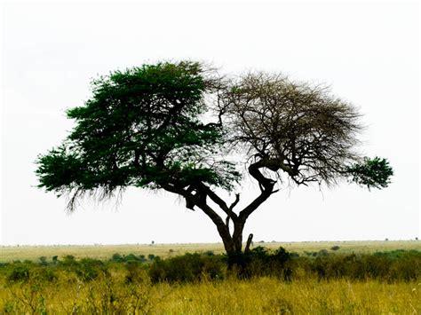 alive tree split living dead acacia tree nairobi national park