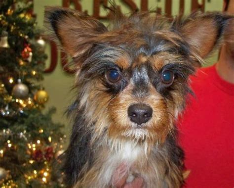 chihuahua yorkie mix price whiskey the chihuahua yorkie mix s web page
