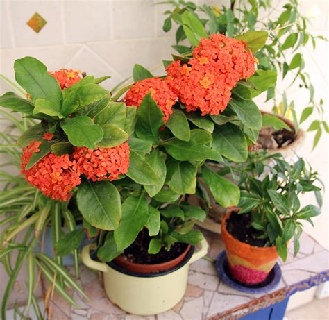 flowering shrubs of india light up your garden with ixora also known as of