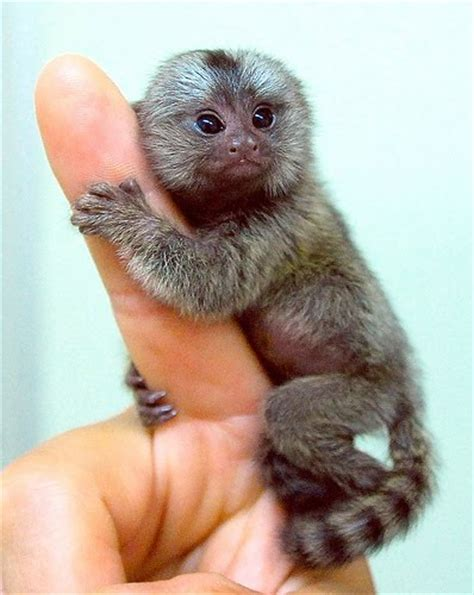 animal photo marmoset monkey