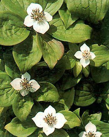 Pot De Fleur 3378 by Cornus Canadensis Vivace H X L Adulte 15 Cm Floraison