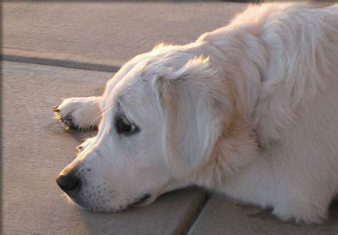 golden retriever puppies nebraska white golden retriever puppies for sale nebraska dogs our friends photo