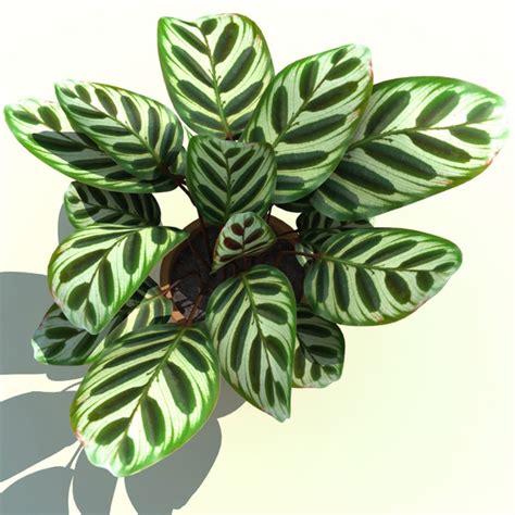 Tanaman Hias Daun Calathea Zebrina calathea makoyana peacock plant 3d model calathea