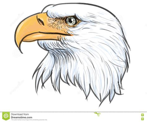 bald eagle color vector stock vector image 77591713