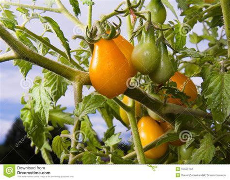 Tomaten Gr N Ernten 5608 by Gelbe Birnen Tomaten Stockfotografie Bild 15450142