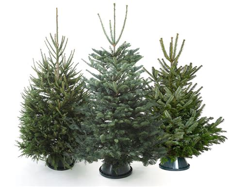 buy real christmas trees for delivery in london the
