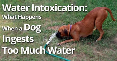 water intoxication dogs water intoxication much of a thing