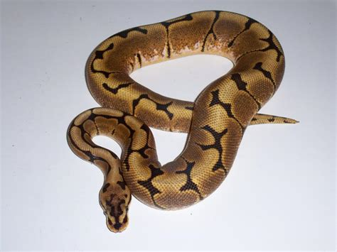 reduced pattern pastel ball python reduced pattern normal or a spider