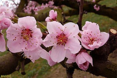 albero fiori rosa test degli alberi fiori di pesco