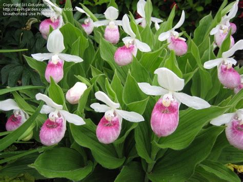 ladys slippers plantfiles pictures species orchid showy s slipper