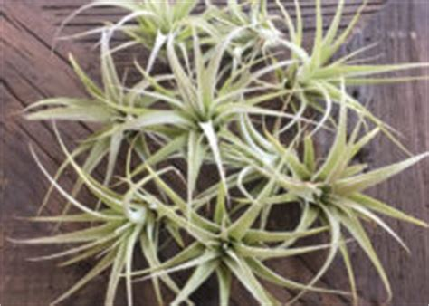 different forms of tillandsia 40 stunning photos featuring varieties and types of air plants