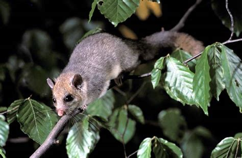 edible dormouse at night rodent small mammals flowers