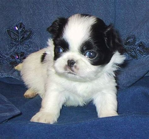 japanese chin puppies for adoption japanese chin puppies for sale adoption from deer alberta adpost classifieds