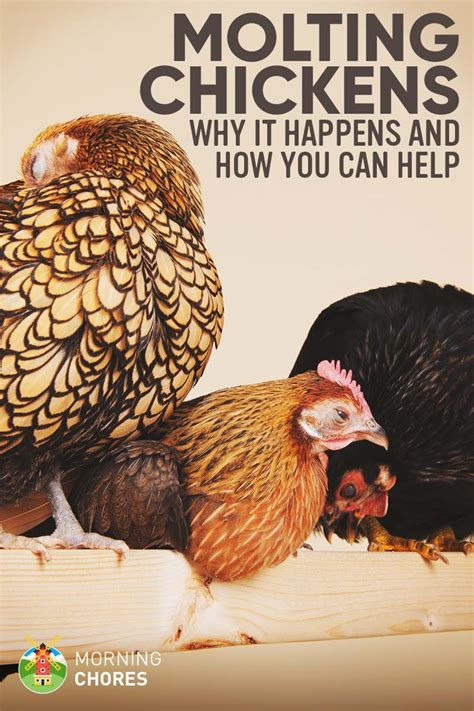 how to speak chicken why your chickens do what they do say what they say books molting chickens why do chickens molt and how you can
