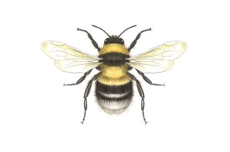 Search For On Bumble Bumble Bee Drawing Search Botanical Inspiration