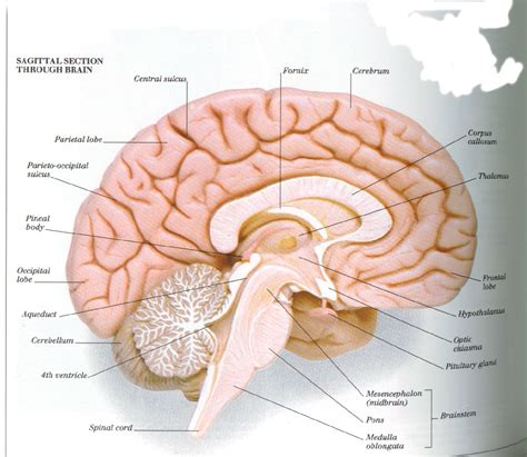 brain sagittal section nervous system