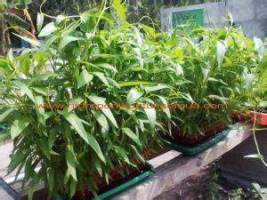 Jual Bibit Kangkung Di Malang cara mudah menanam kangkung hidroponik menggunakan bak