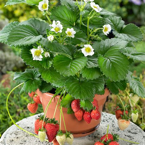 What To Plant In A Strawberry Planter by Beltran Strawberry Great For Pots And Baskets