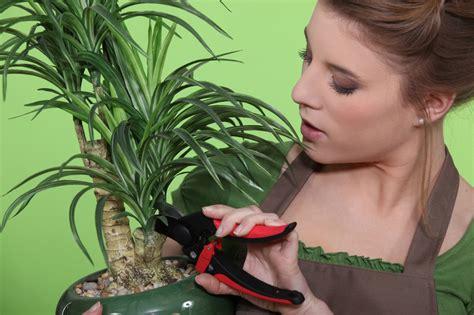 yucca palme schneiden yucca palme vermehren yucca palme
