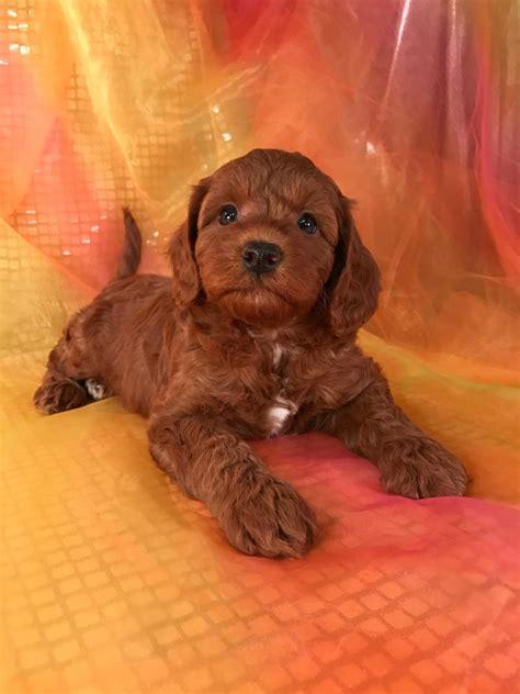 goldendoodle puppy iowa iowa and minnesota miniature goldendoodle breeders