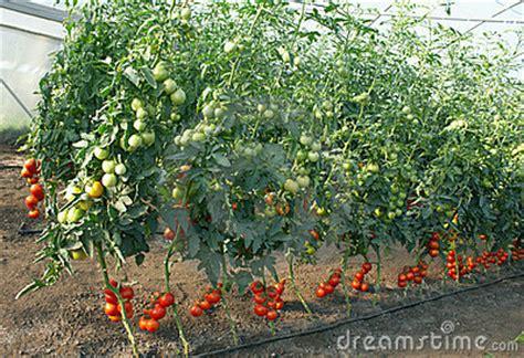 Tomaten Gr N Ernten 5608 by Tomaten In Einem Treibhaus Lizenzfreies Stockfoto Bild