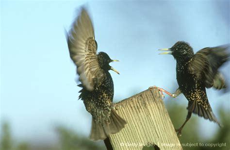 starlings grackles