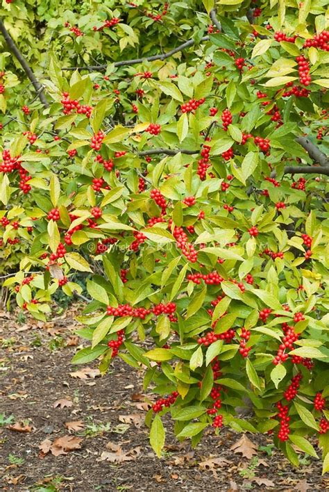 49 best images about shrubs w berries on pinterest white