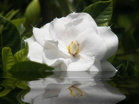 Gardenia And Soft Silky So White Gardenia Claradon Flickr
