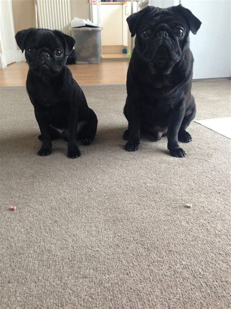 pugs for sale liverpool two black pugs for sale liverpool merseyside pets4homes
