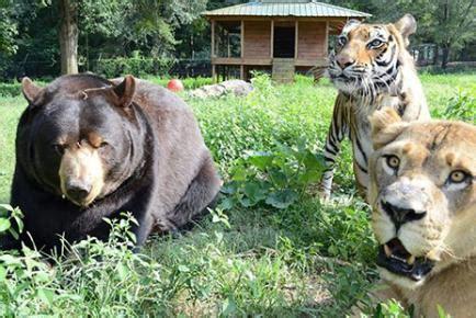 best friends tiger and living 画像 blt クマ ライオン トラの猛獣3匹が一緒に生活する姿が凄い naver まとめ