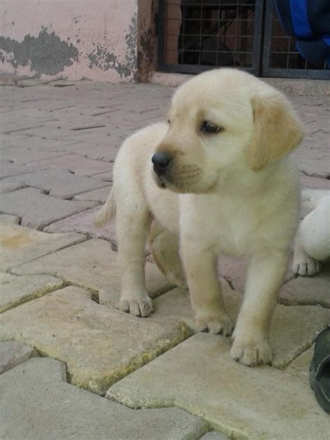 labrador puppy price 2017 mini labrador puppies price in india baby pictures images wallpapers